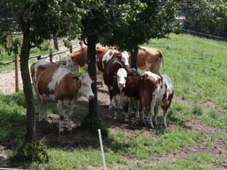 Miclhkühe auf der Weide