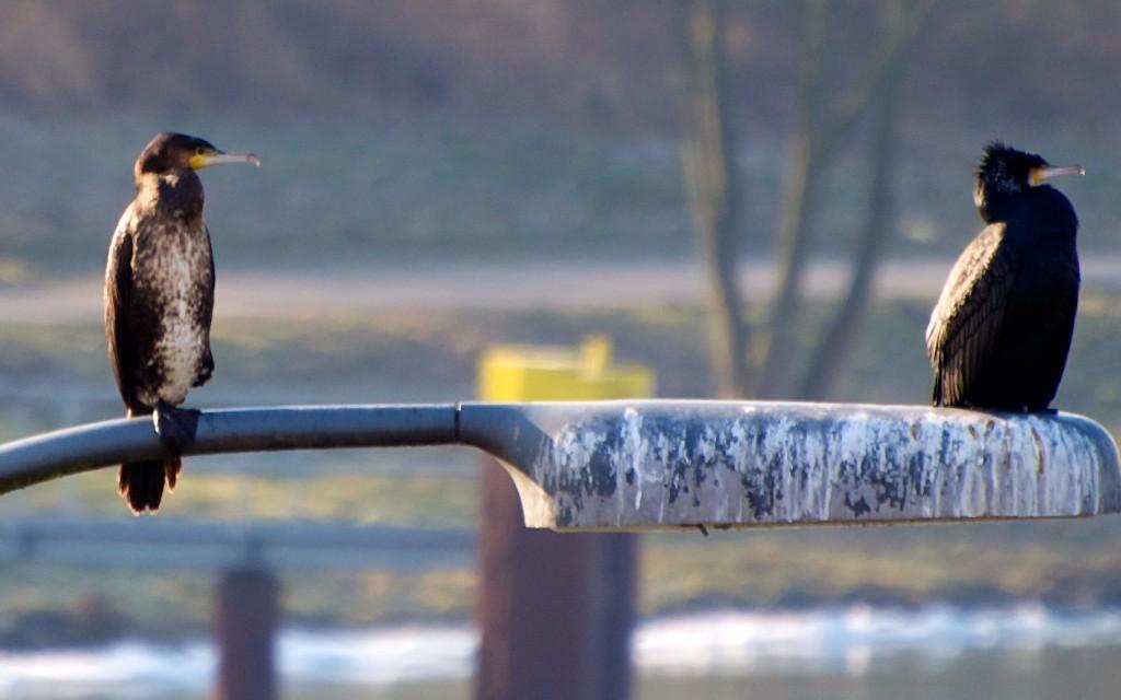 Kormorane leben ganzjährig am Kanal und an der Lippe
