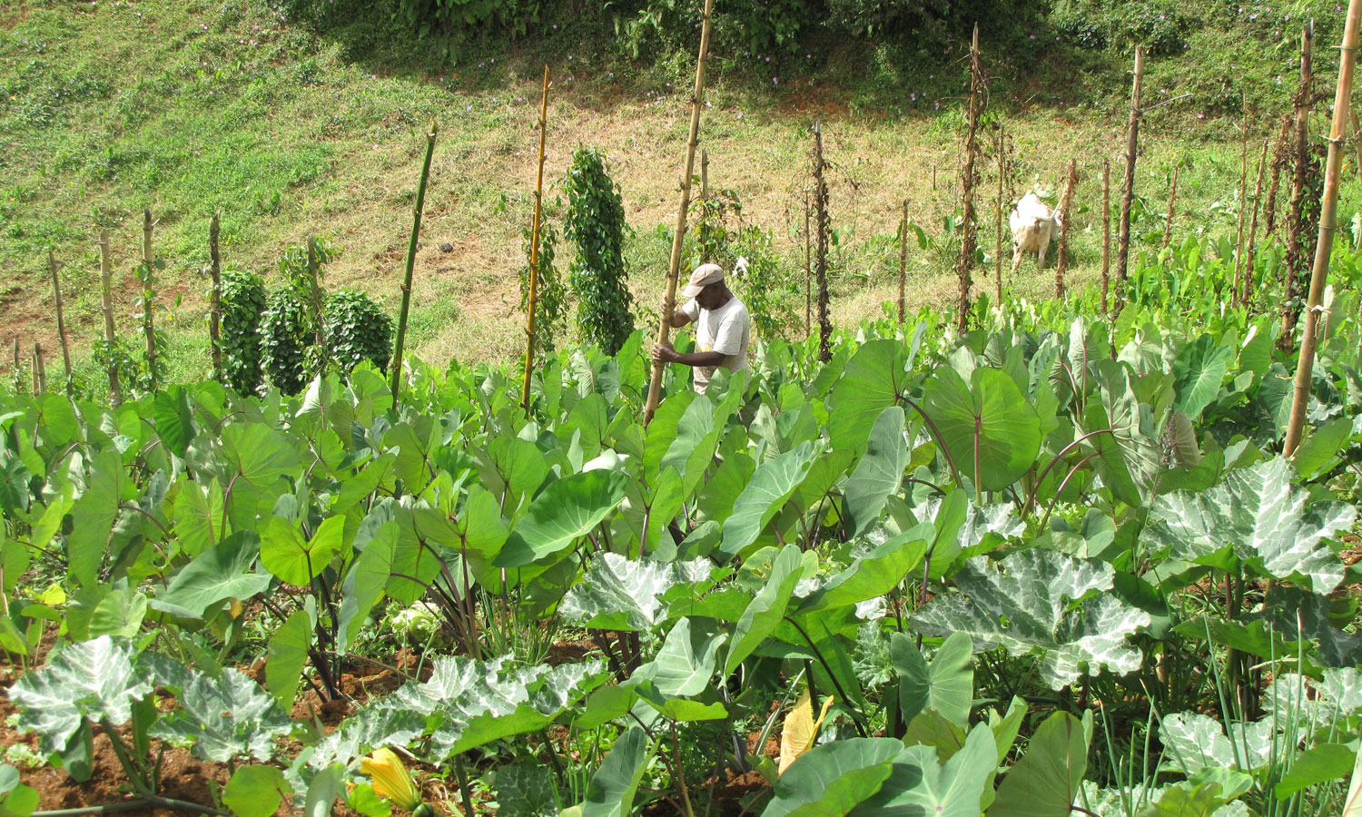 Field of local roots «Madere» in Guadeloupe (copyright : INRA Antilles Guyane)