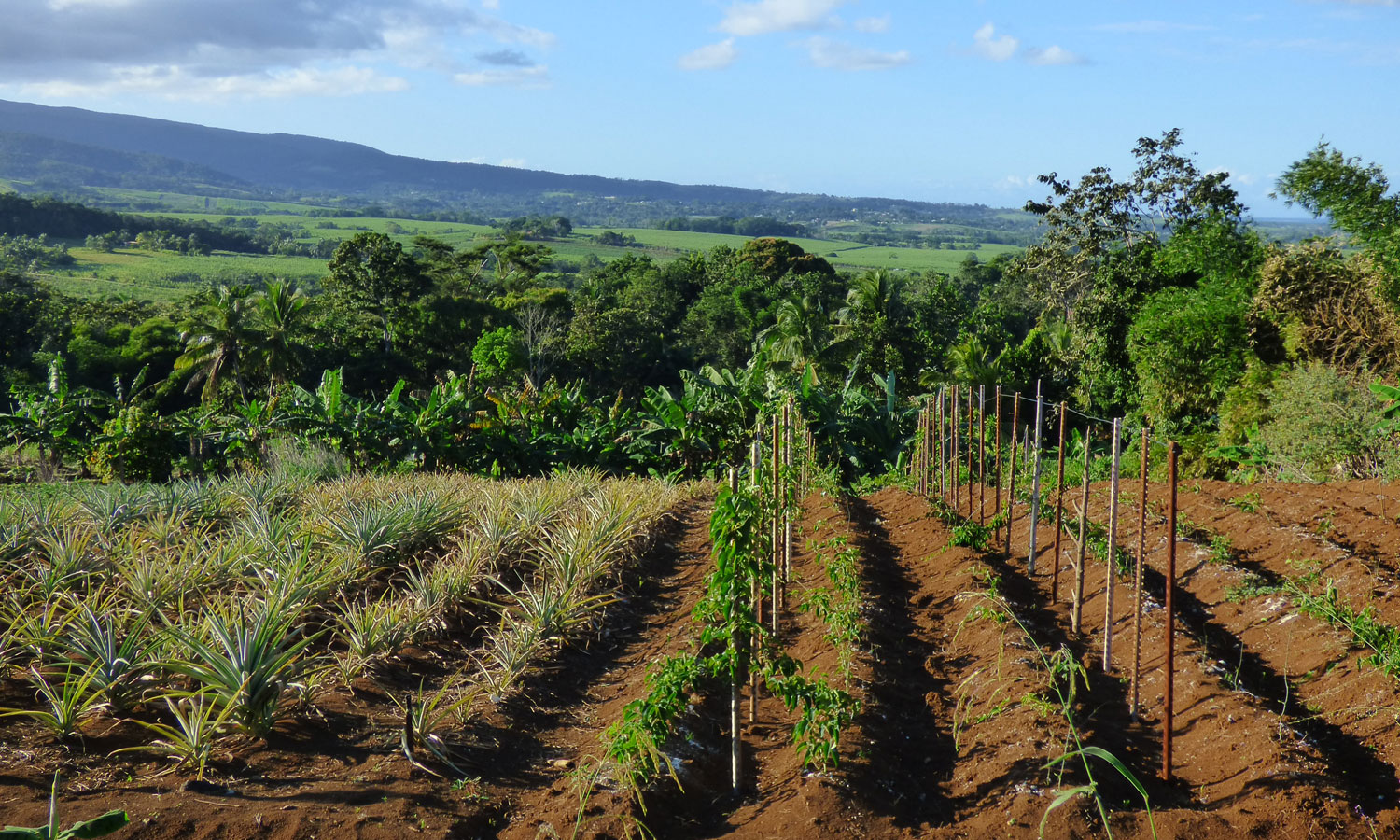 Diversified agriculture: fields with pineapples, yams and bananas (copyright: INRA Antilles Guyane)