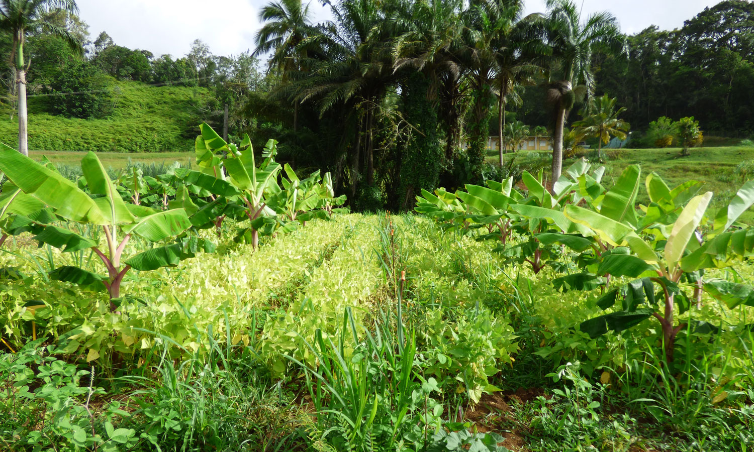 Plantain bananas, peas and tomatoes (copyright : INRA Antilles Guyane)