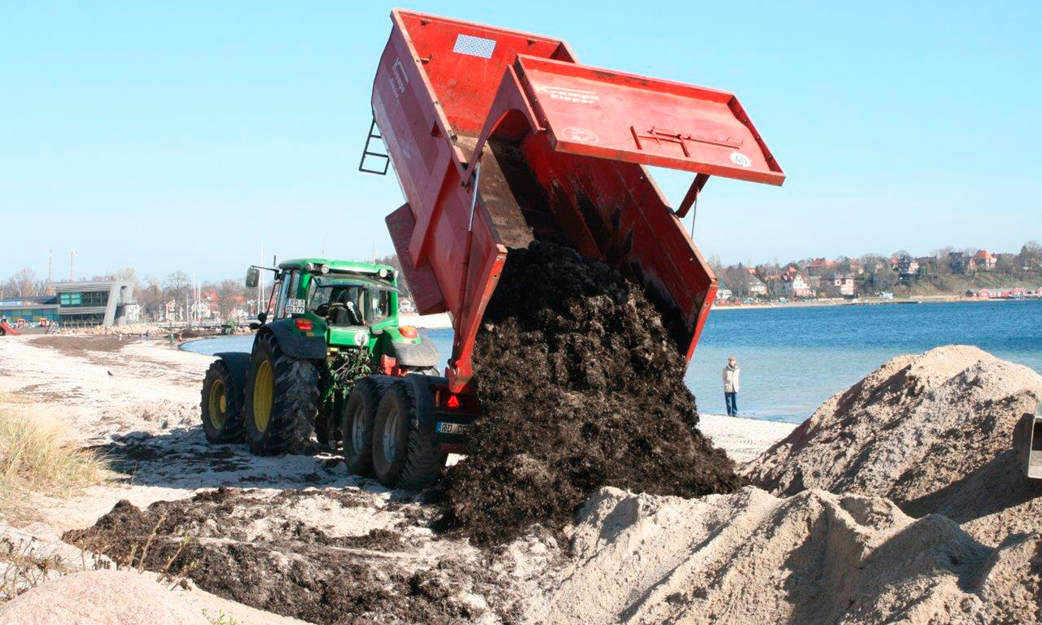 Beach wrack being used to build a dune system.