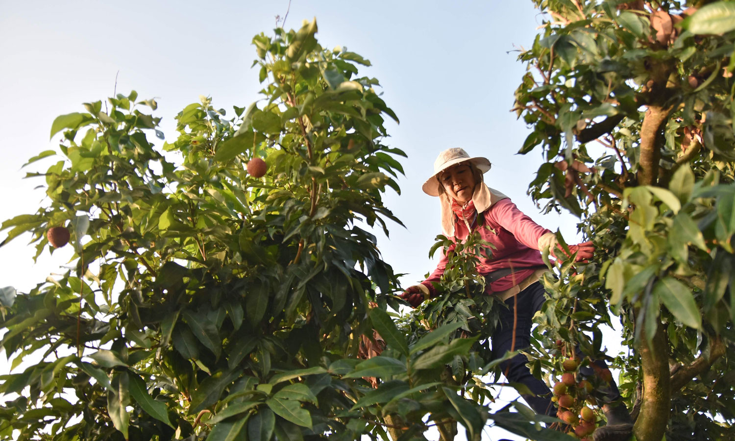 Harvesting lychees. (©Urban Development Bureau, Kaohsiung City Government, Taiwan)