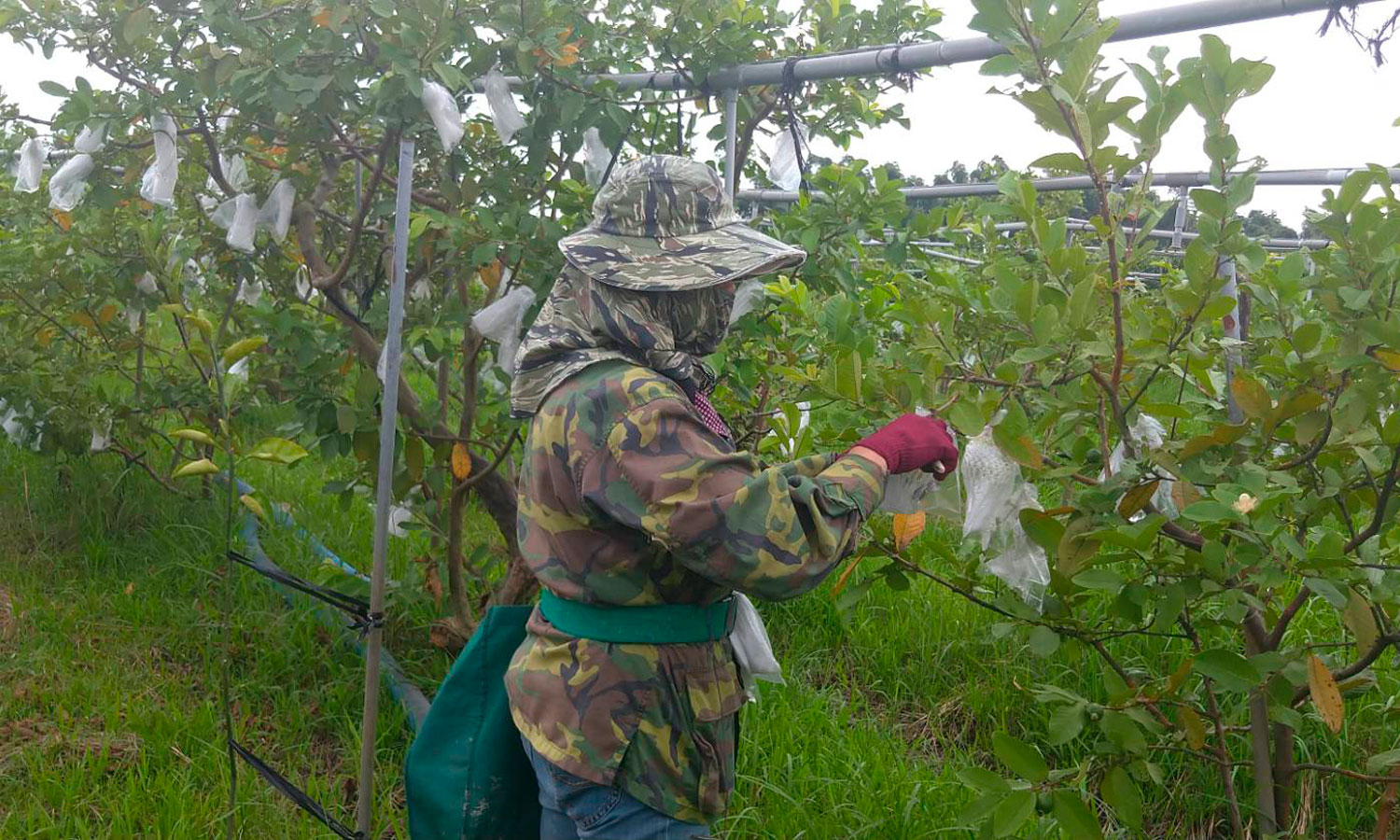 Guavaa harvesting in Yanchao. (©Urban Development Bureau, Kaohsiung City Government, Taiwan)