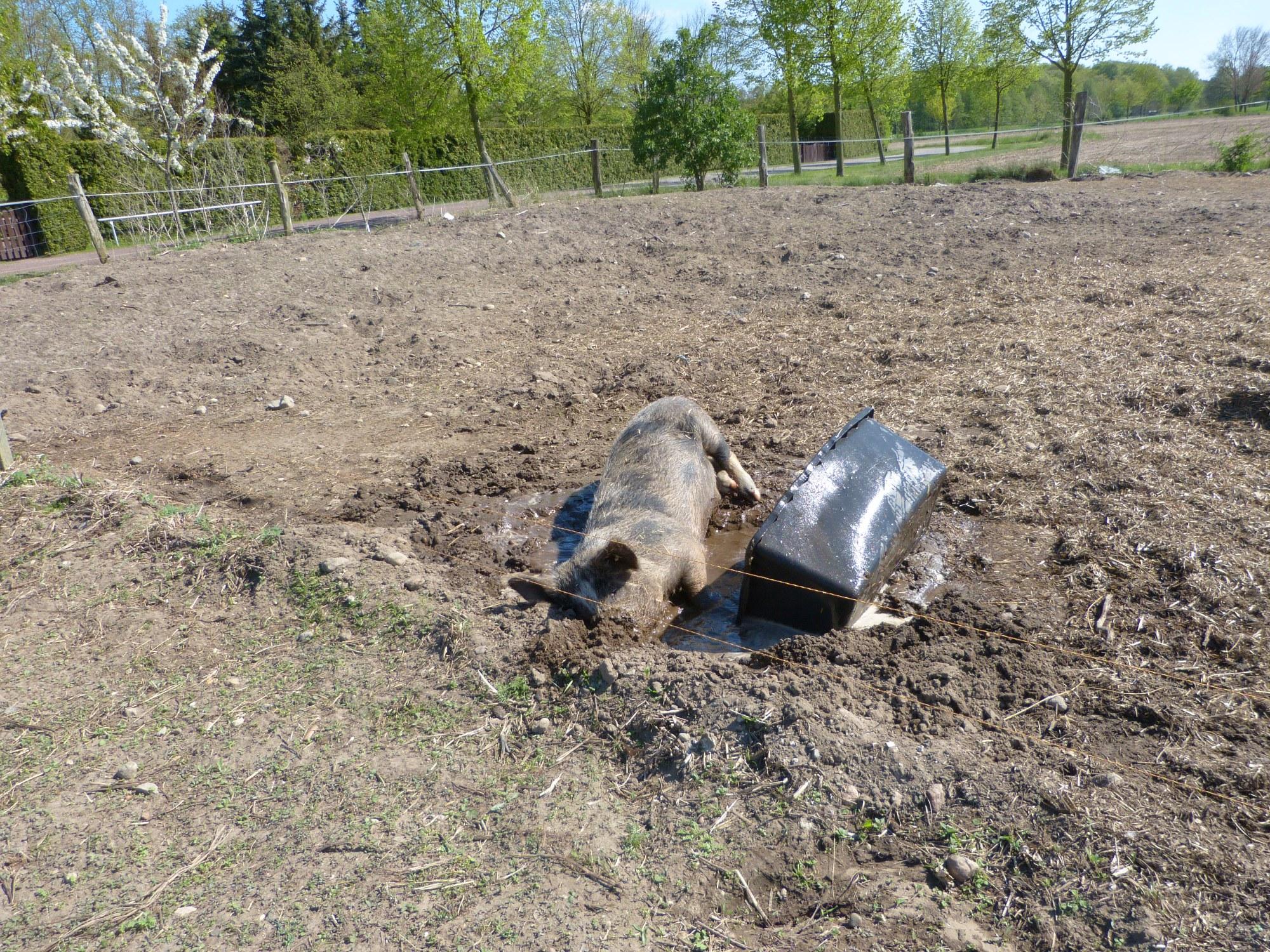 Ein Knirpsschweinchen beim Baden ...