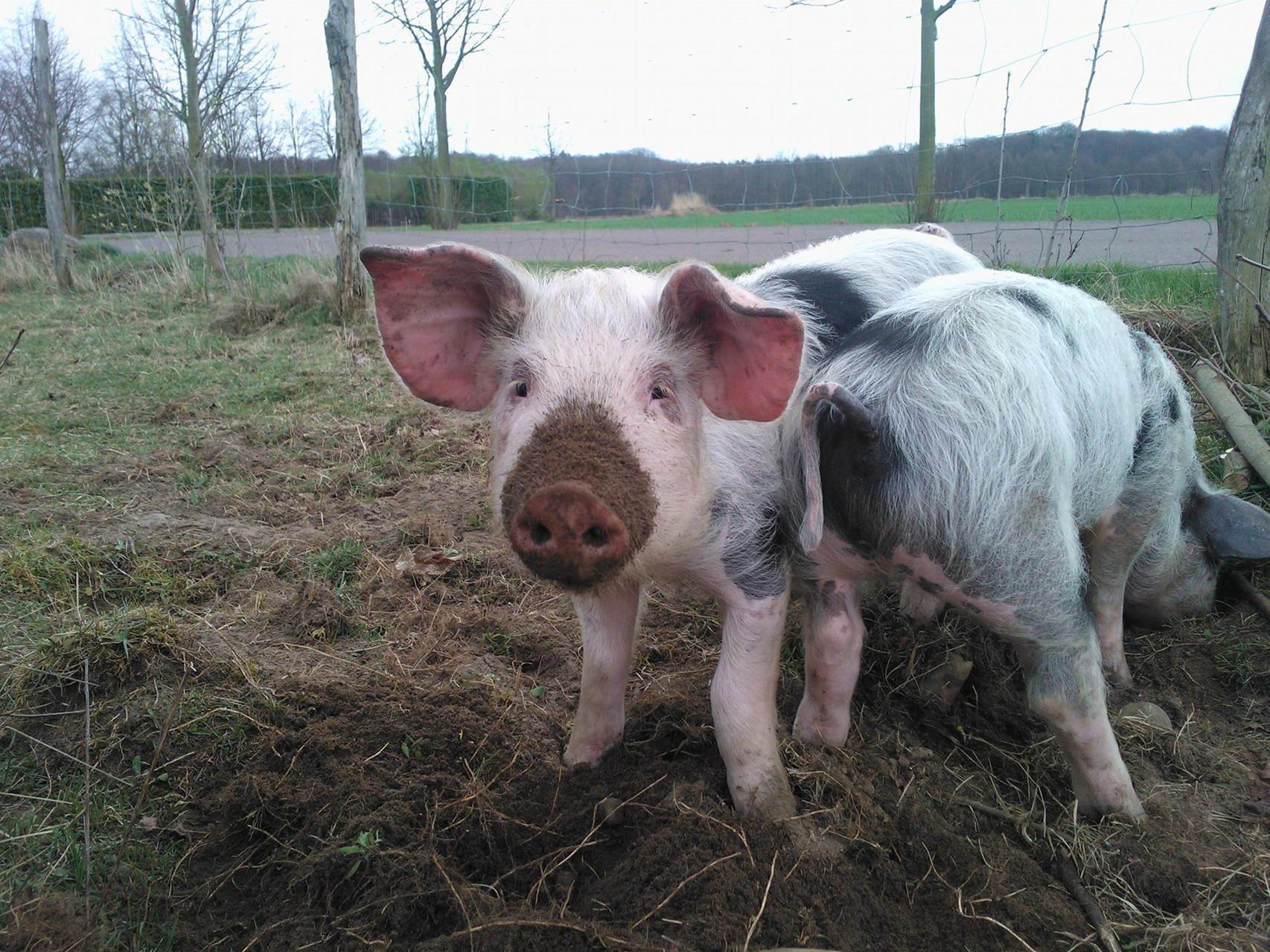 Nur kurz lassen sich die Schweine bei ihrer Arbeit unterbrechen ...