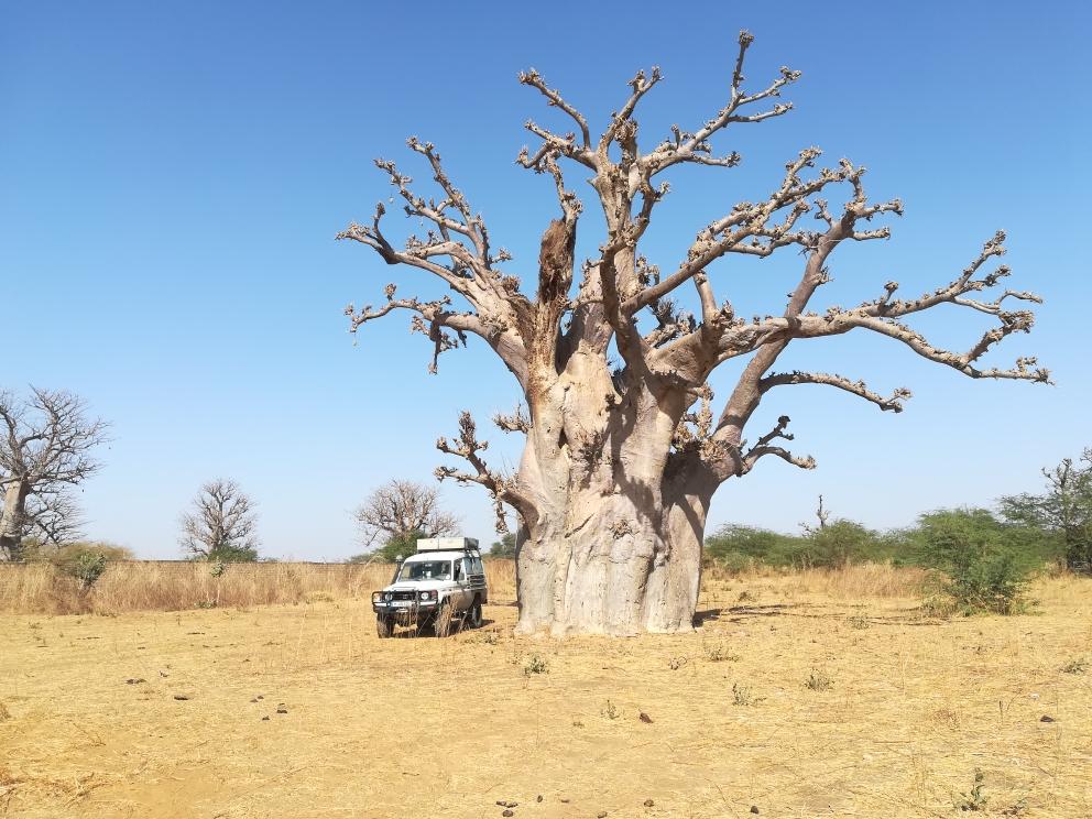Kleiner Dicker neben riesigem Baobab