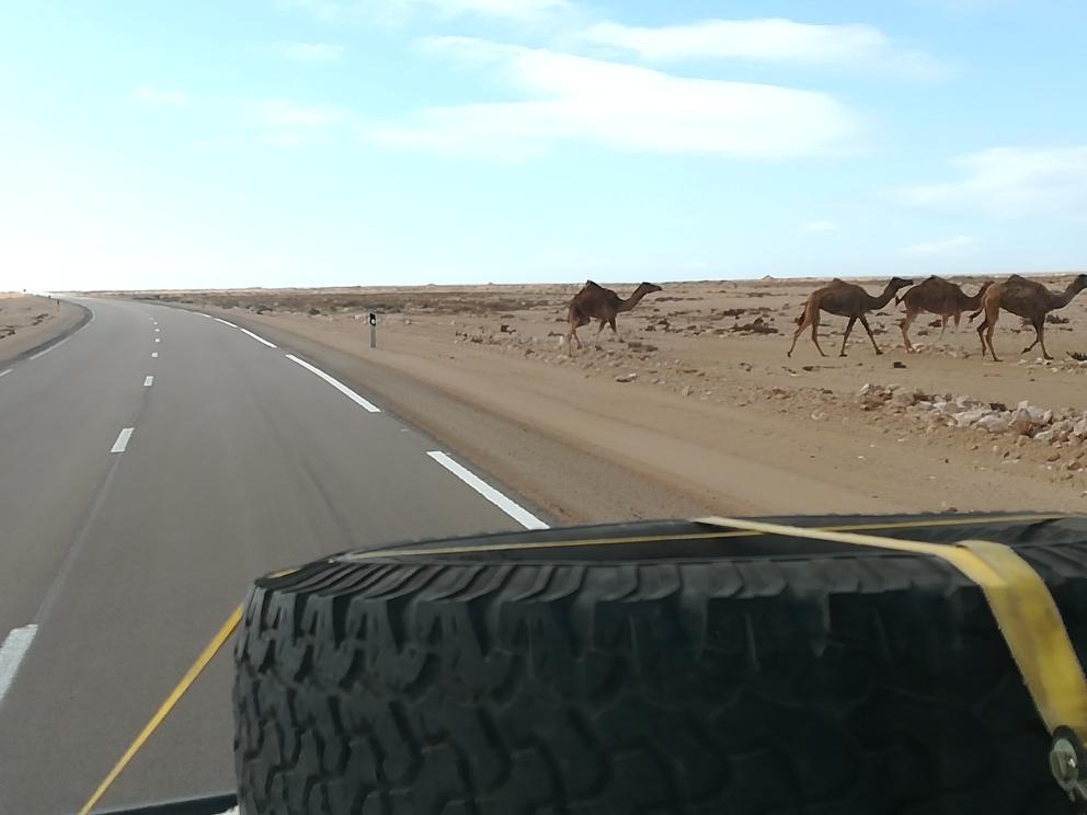 Kamele am Straßenrand