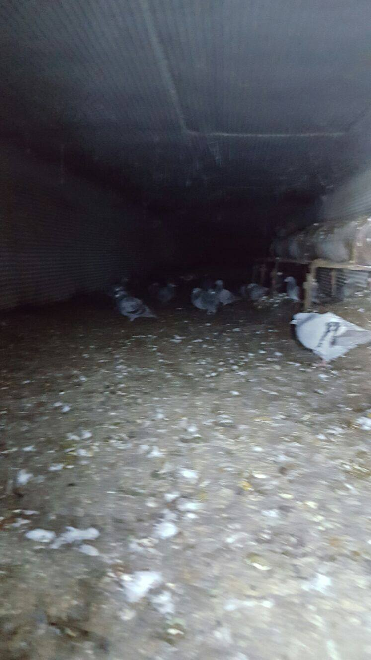 Als Nischenbrüter nutzen Tauben alle Möglichkeiten, wie hier im Hohlraum einer Brücke.