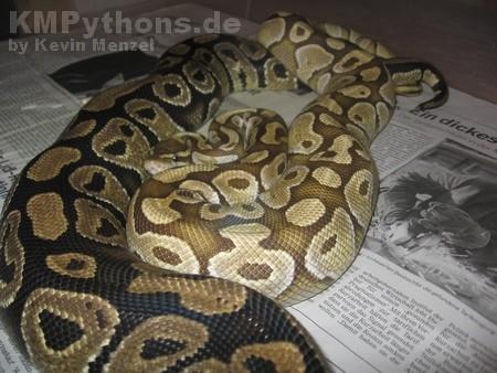 königspython, python, regius, verpaarung, zucht, butter