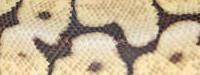 Bumblebee, Königspython, Python, Regius, Ballpython