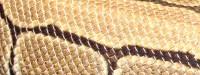 Pinstripe, Python, Regius, Königspython, Ballpython