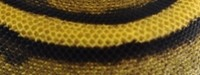 Genetic, Striped, Königspython, Python, regius