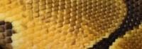 Enchi, Königspython, Python, regius, Ball python,