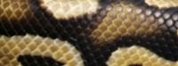 Pastel, Python, Regius, Königspython, Ballpython