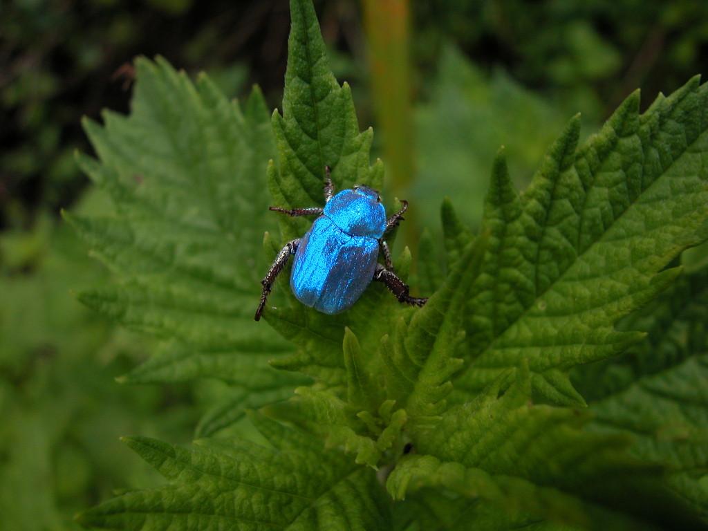 Nature  : scarabé bleu