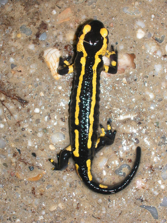Nature :  salamandre tachetée