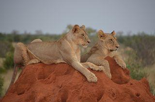 Löwen in Tsavo Ost auf einer Kenia Safari