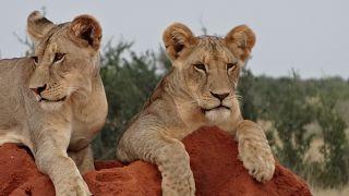Löwen auf einer 2 Tage Safari Tsavo Ost Kenia