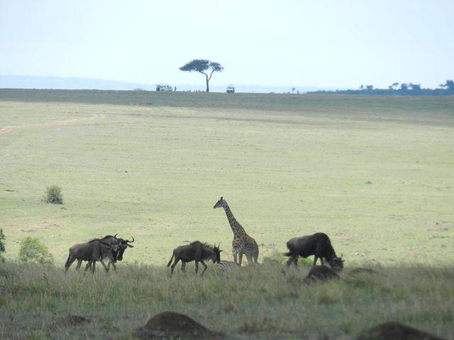 Frühpirsch in der Massai Mara