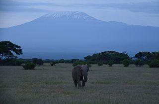 Elefant vor dem Kilimandscharo auf einer Safari in Kenia