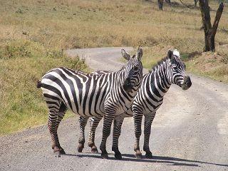 Zebras auf der Safari Kenia