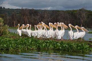 Pelikane am Lake Nakuru auf einer Kenia Safari