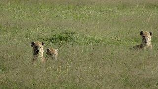 Hyänen in Kenia im Amboseli Nationalpark