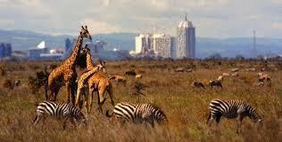 Giraffen im Nairobi National park