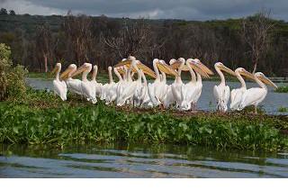 Pelikane auf dem Lake Naivasha in Kenia