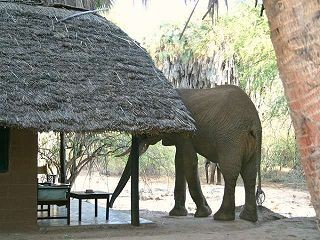 Elefant im Camp auf der Kenia Safari