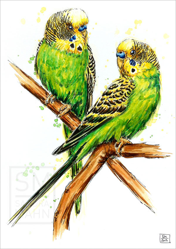 Wellensittich | budgerigar