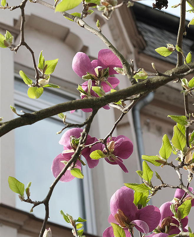 Magnolienblüte in Bad Ems