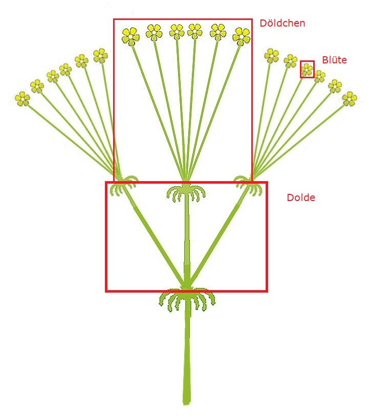 Die Anatomie einer Doppeldolde. Quelle des Originalbilds: Von Rasbak - Eigenes Werk, CC BY-SA 3.0, https://commons.wikimedia.org/w/index.php?curid=220286