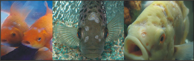 Bron foto's: foto 1: fish-helpline.co.uk, -foto 2: aquaworldaquarium.com, -foto 3: istellas.gr.