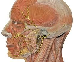 耳の穴の下に見える部位が顔面神経管です。