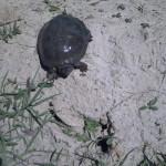 La tortue - Cistude