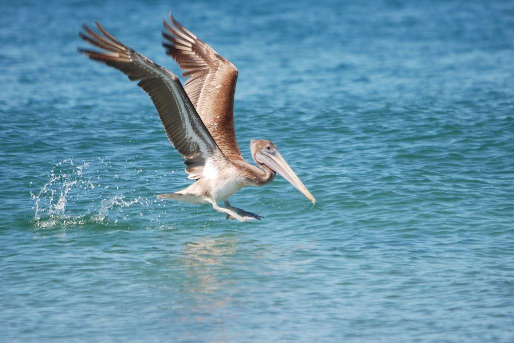 Pelikan beim starten