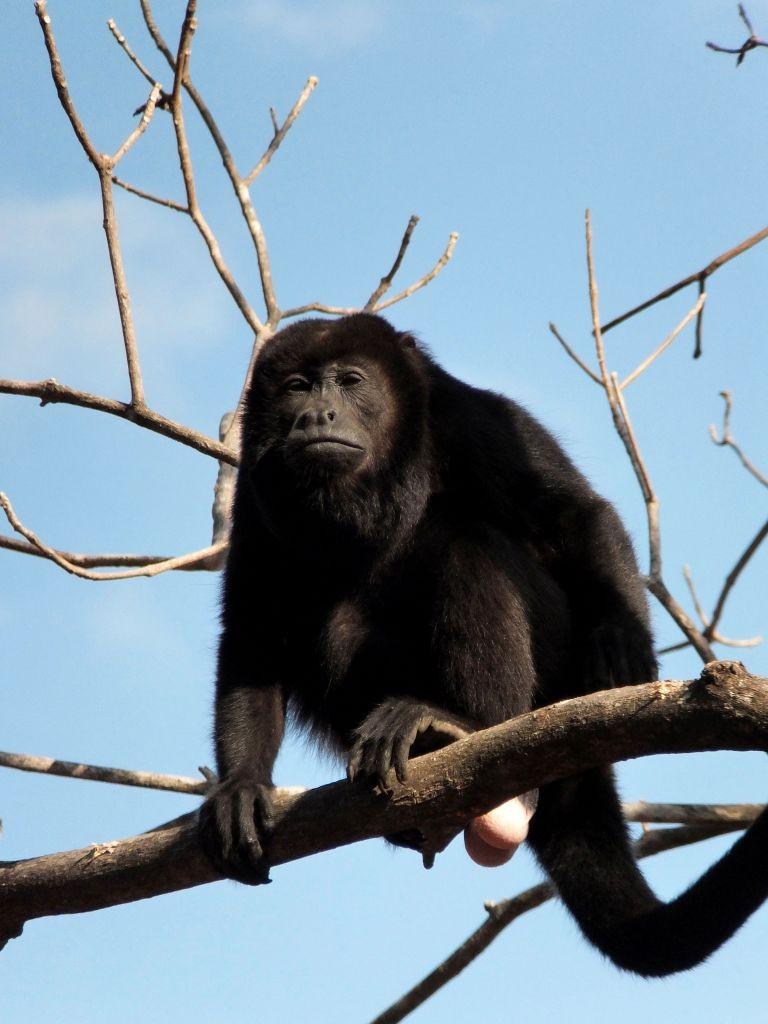 """Chef"" unserer Affengruppe"
