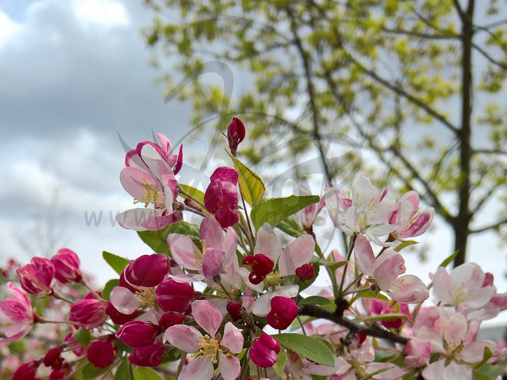 Blütenstau