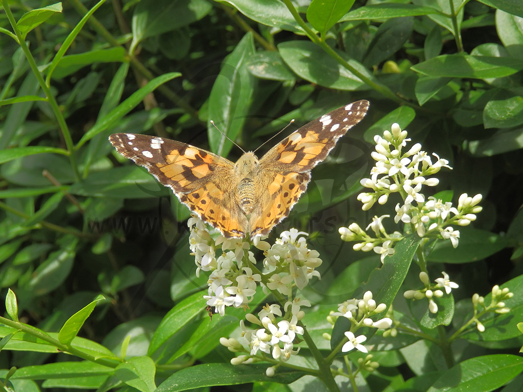 Abhebender Schmetterling
