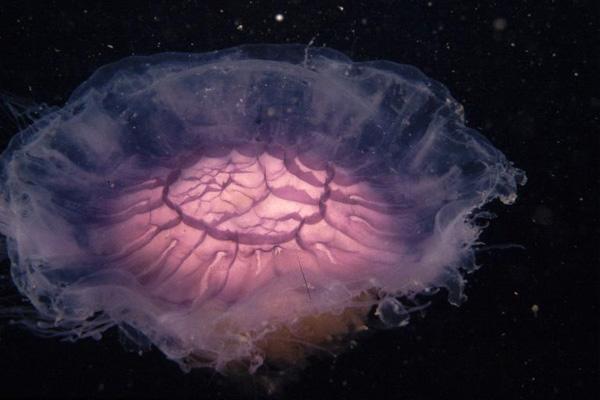 Cyanea lammarckiia