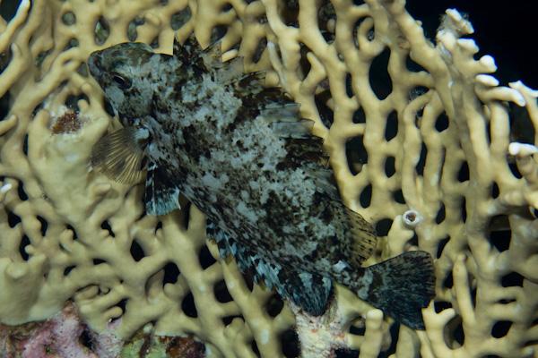 Siganus rivulatus