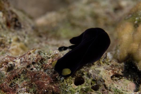 Chelidonura flavolabata