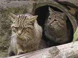Wildkatzen im Wildgatter