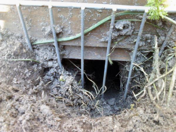unter dieses Schutzgitter hatte sich eine Ratte gegraben
