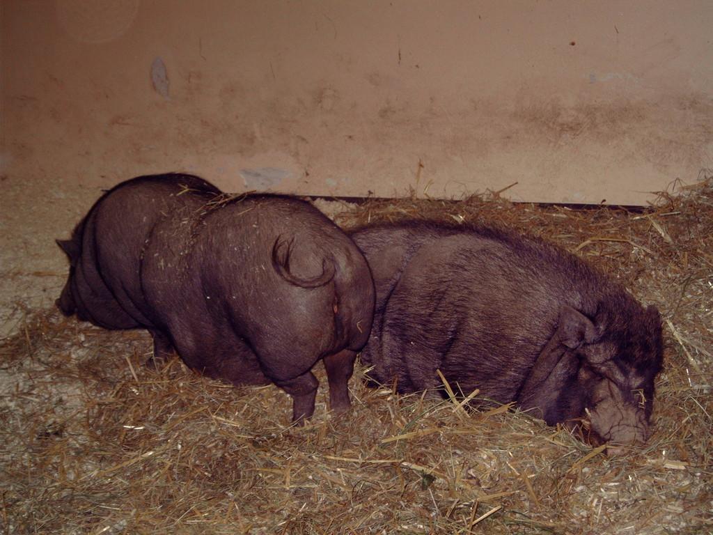 Hängebauchschweine
