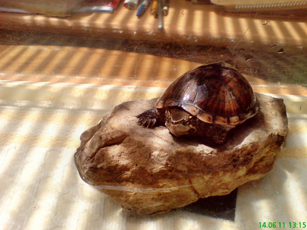 eine gewöhnliche Moschusschildkröte