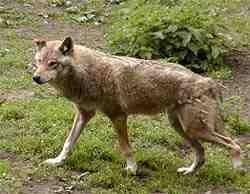 Wolf im Wildgatter