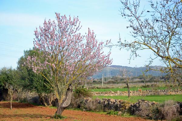Mandelblüte ab Ende Januar